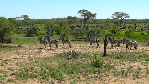 Wildebeest and Zebra. Safari - journey through the African Savannah. Tanzania Footage