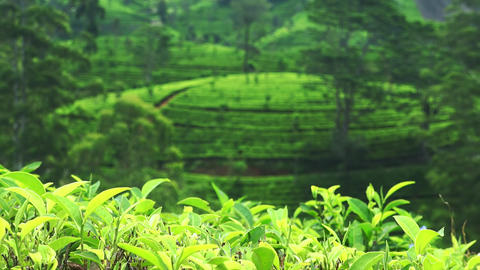 Panning video of fresh green tea leaves growing against agricultural plantatio Footage