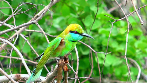 Green Bee eater (Merops orientalis) sits on tree branch, looks around, stretches Footage