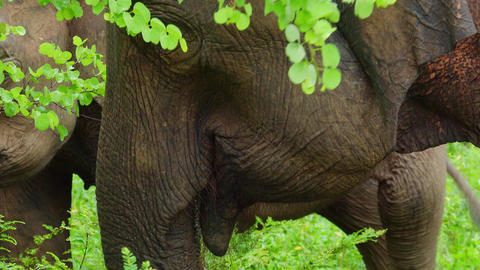 Asian elephants standing in bushes, fern thickets, shaking heads, eating grass Footage