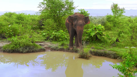 Big Asian elephant enjoying natural pond during rainy season in.Sri Lanka Footage