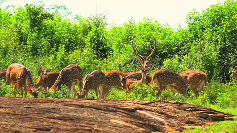 Herd of White Spotted Axis Deers nipping grass with thick shrubs on background Footage