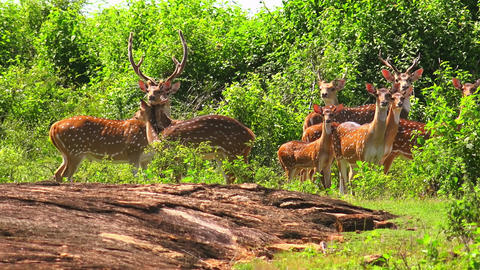 Group of White Spotted Axis Deers at Udawalawe National Park natural landscape Footage