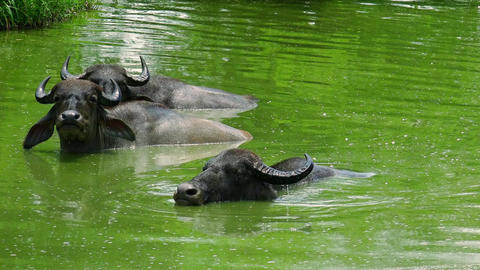Asian water Buffalo enjoying diving in pond, jawing and looking at camera Live Action