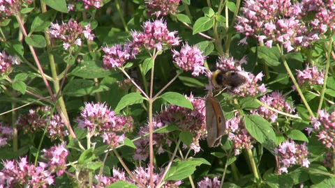 Bumblebee and butterfly on oregano Live Action