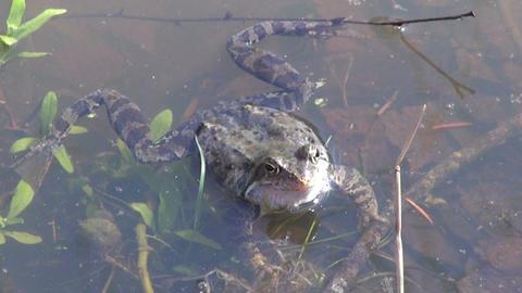 Marsh frog in spring Footage
