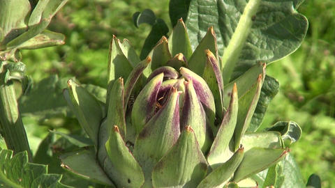 Wasps and ants on artichoke Live Action