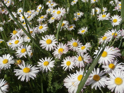 Meadow with daisies Photo