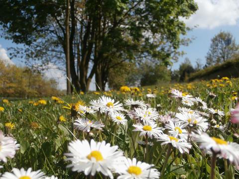 Meadow with daisies and dandelions Photo