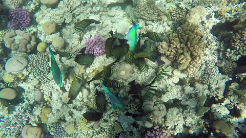 Colorful Fish On Vibrant Coral Reef, View from Above, Red Sea Footage
