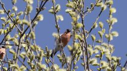 Bullfinch feeding on buds Footage