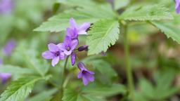 Wild viola flowers Footage