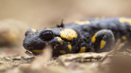 Yellow spotted salamander Footage
