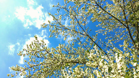 Tree Flowers Blooming In Spring Footage