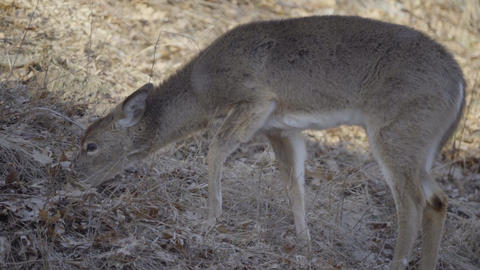 Young deer with its winter coat Footage