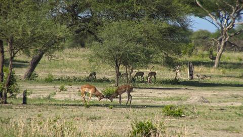 Antelope Impala Footage