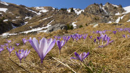 Crocus flowers on the mountain Footage