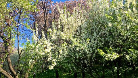 Tree Flowers Blooming In Spring Footage