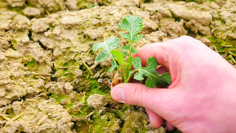 Pink skin hand yanks a small oilseed rape plant from wet humus clay. Man check q Footage