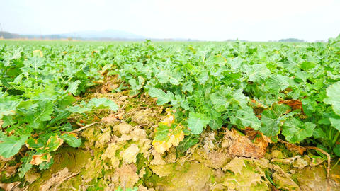 Rape plant field. Spring colza field, small young plants... Stock Video Footage