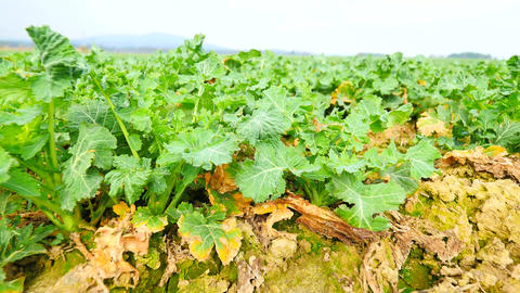 Rape plant field. Spring colza field, small young plants… Stock Video Footage
