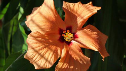 Orange hibiscus next the window Image