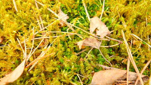Old yellow leaves fallen on dry moss.Dry small plants of moss, dry pine needles  Live Action