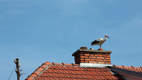 White storks Footage