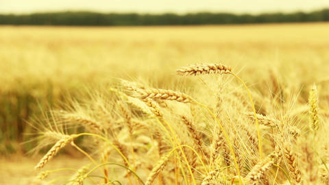 Panarom shot of a wheat field Filmmaterial