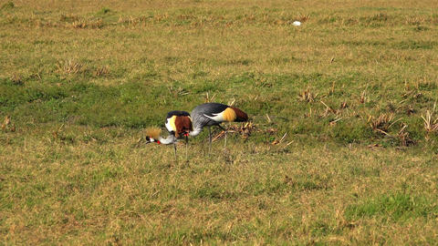 A pair of crowned cranes Footage