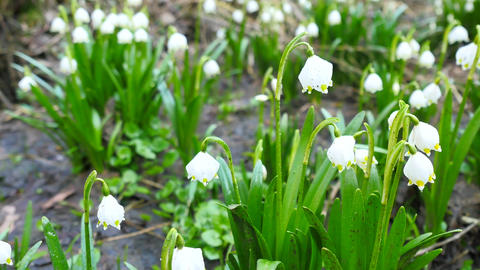 Dewy tufts of spring snowflake (Leucojum vernum) in moist soil in the alder fore Archivo