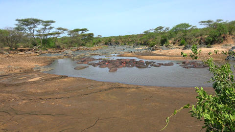 A herd of hippos in the drying up of the river. Safari - journey through the Afr Footage