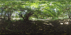 360 VR Banyan trees in green sunlit park of Mauritius Archivo