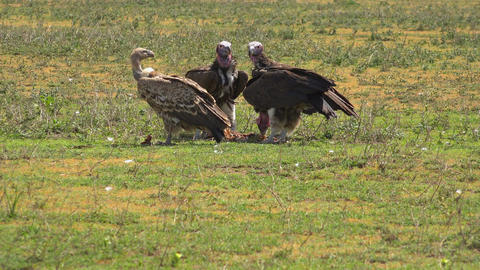 African vultures Footage