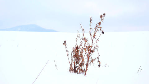 Dry bush of thistle shaking in gentle freeze wind. Frozen thorn in snowy field,  Footage