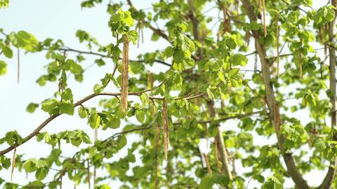 Hazelnut Tree in the Spring Closeup