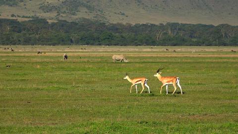 Pair of white rhinos and Gazelle Thomson Footage