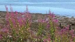 Great Britain Scotland Highland Invergordon purple blooming plants at shore Footage