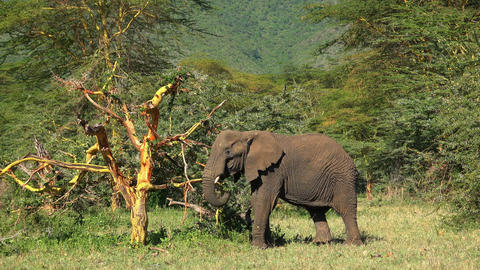 African elephant. Safari - journey through the African Savannah. Tanzania Footage