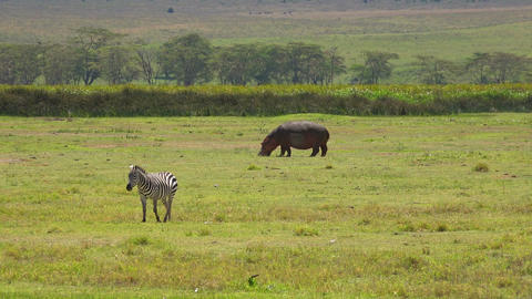 Zebra and Hippo in Ngorongoro crater Footage