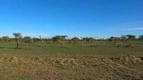 African giraffes. Safari - journey through the African Savannah. Tanzania