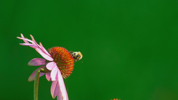Bumblebee on a Echinacea flower Footage