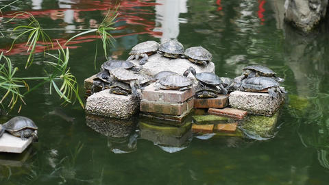 Hong Kong - Nan Lian Garden - Water Turtles Footage