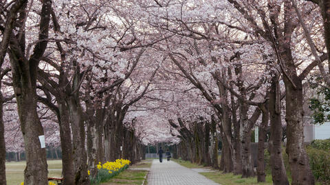 Cherry blossom avenue at Takarano park at dawn in Tokyo Footage