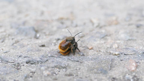 Macro Shot Wild Bees Osmia Bicornis Couple In Love Insect Copulation Pair Footage