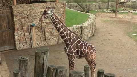 Reticulated giraffe (Giraffa camelopardalis reticulata) Footage