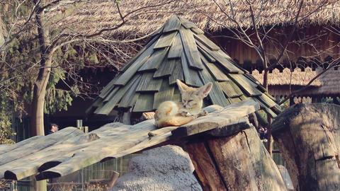 Desert fox Footage