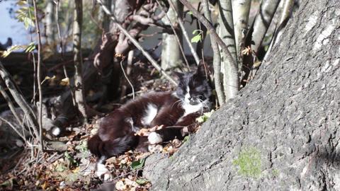 striped little kitten plays Footage
