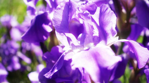 Close Up Of Purple Iris Flowers Footage