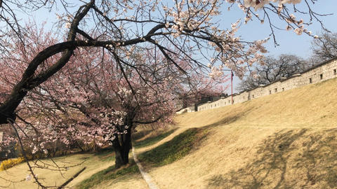 Cherry Blossoms and Changnyongmun Gate 01 Footage